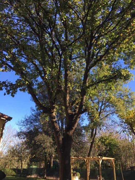 La quercia al centro della piazzetta del borghetto